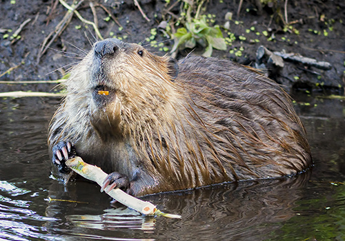 Beaver Trapping md dc va