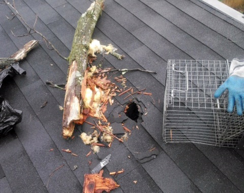 Bethesda Maryland Raccoon Damage