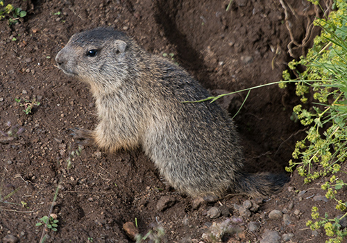 groundhog trapping removal md dc va