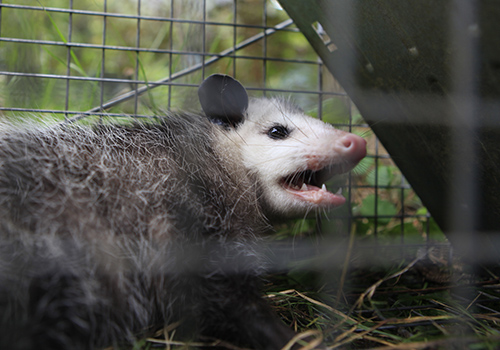 opossum trapping md dc va
